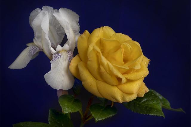 Iris & Rose