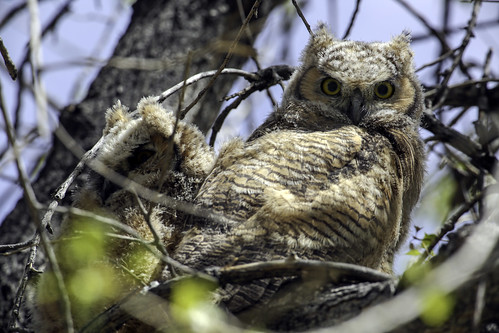 2019 5 4 - Cottonwood Chicks - 9S3A8443 | by Rags Edward