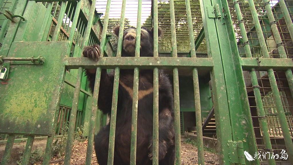 不幸落入人間的黑熊,在有限的圈養環境,如何度過餘生?