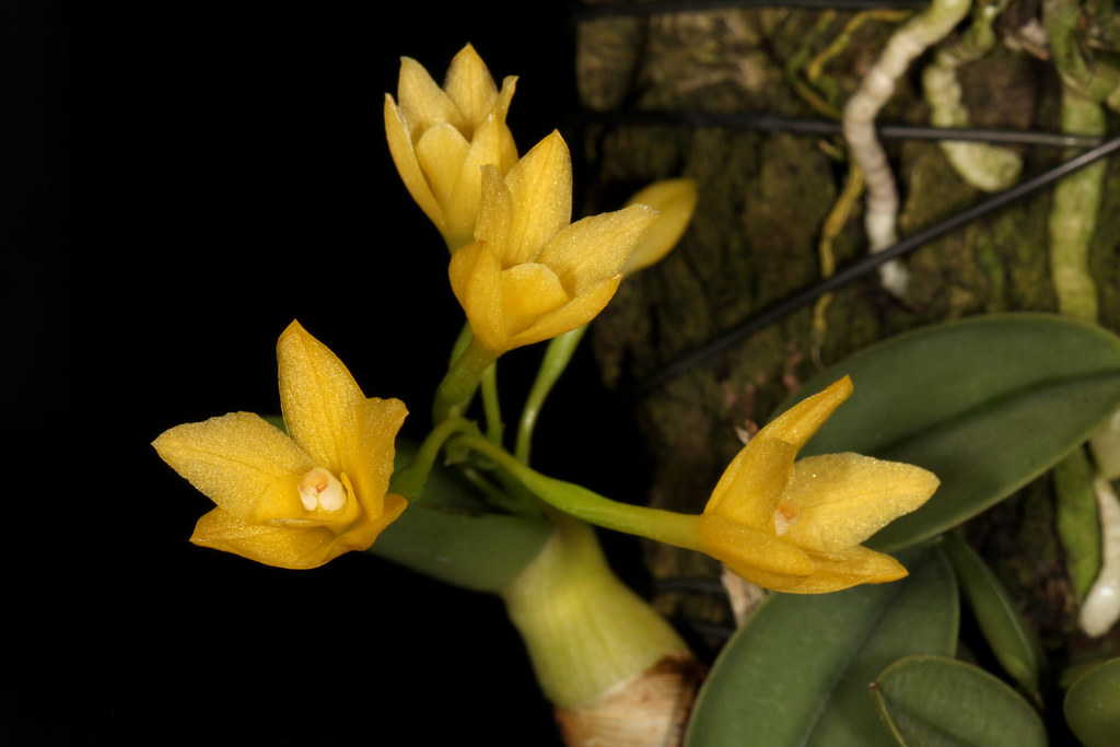 Cattleya cernua 2019-05-13 01