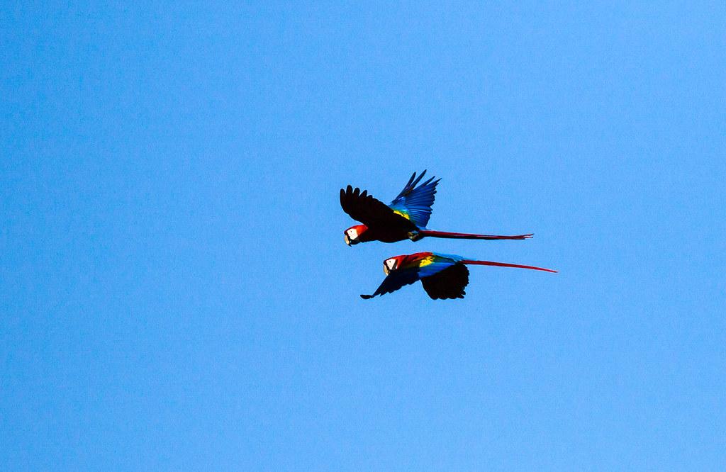 0P7A6315  Scarlet  Macaw, Panama