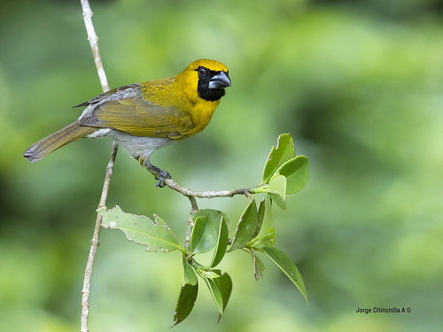 Black-faced Grosbeak (Caryothraustes poliogaster)