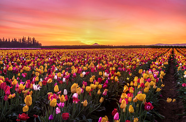 Sunrise at the Tulip Field