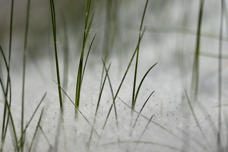 Aspen Seed