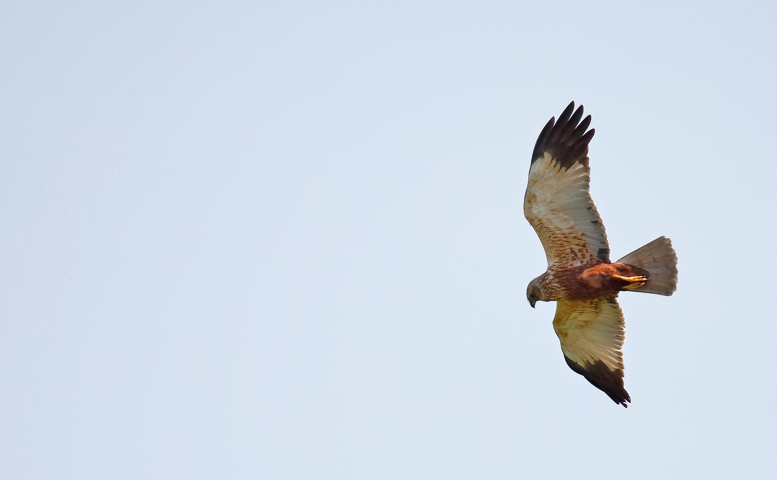 Marsh Harrier - male