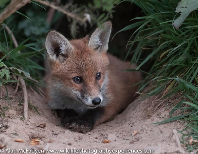 20th May 2019 Red Fox Cub