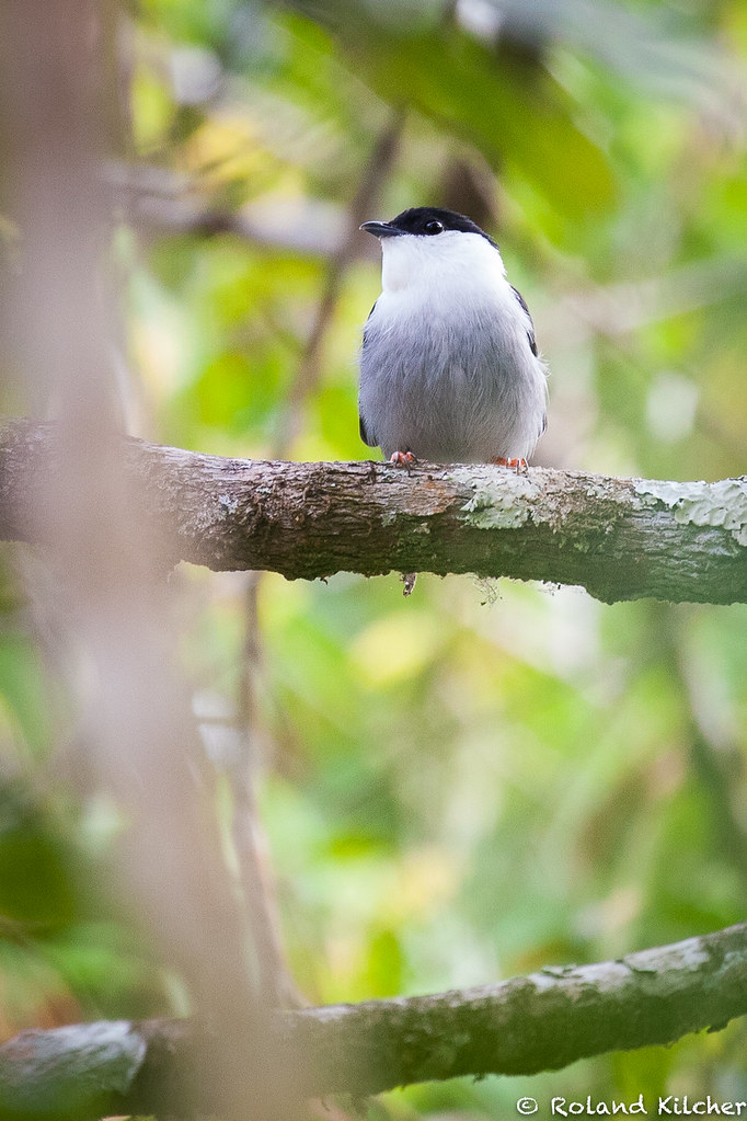 Manakin, White-bearded