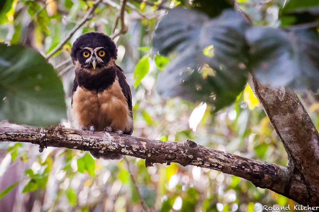 Owl, Spectacled