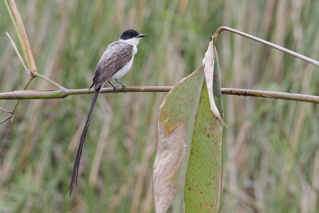 Fork-tailed Flycatcher Tyrannus savana