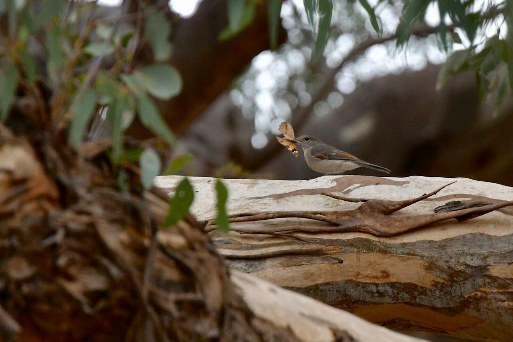Goldern Whistler  ( Female)