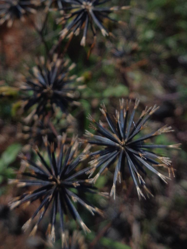 Bidens pilosa DSC07966 (1) Sementes de picão preto, Uberlândia MG