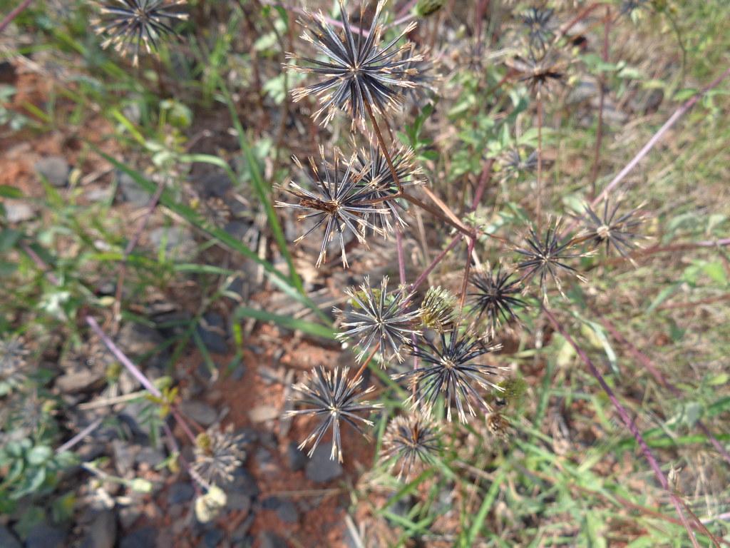 Bidens pilosa DSC07970 Sementes de picão preto, Uberlândia MG