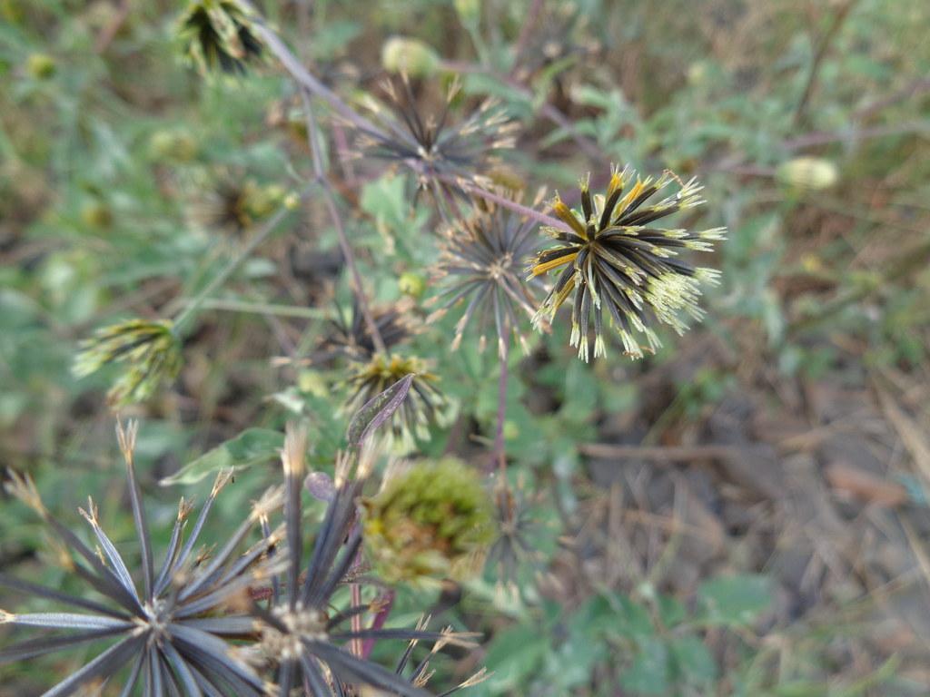 Bidens pilosa DSC07971 Sementes de picão preto, Uberlândia MG