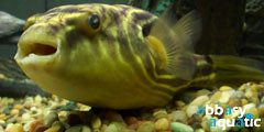 Puffer Fish Fahaka