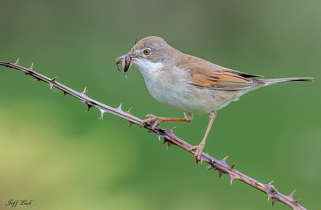 DSC5259  Whitethroat..