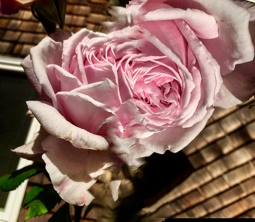 The Rose in the Sideyard