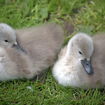 Two baby swans