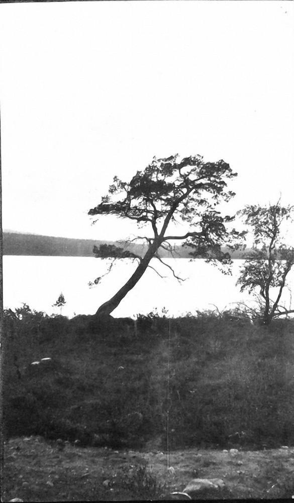 09. Одинокое дерево на Палозере