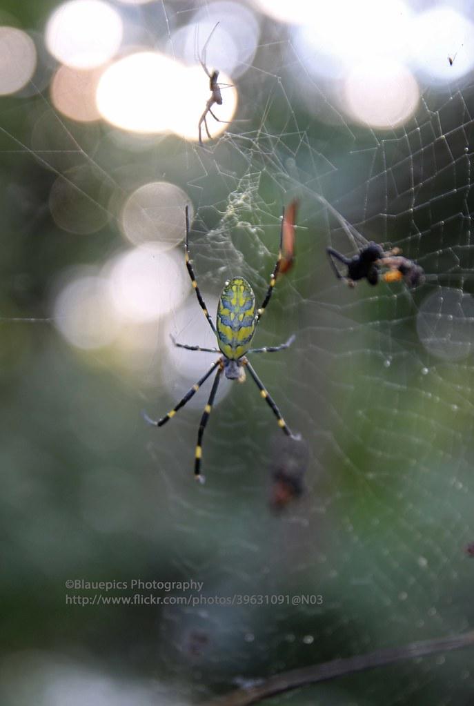 Matsushima, spider