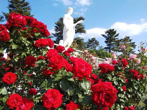 作例 バラの赤もよく出ていると思うが、よく見ると解像は甘い。AWBで撮って色味は違和感ないので、SNSなどの用途には良いか。