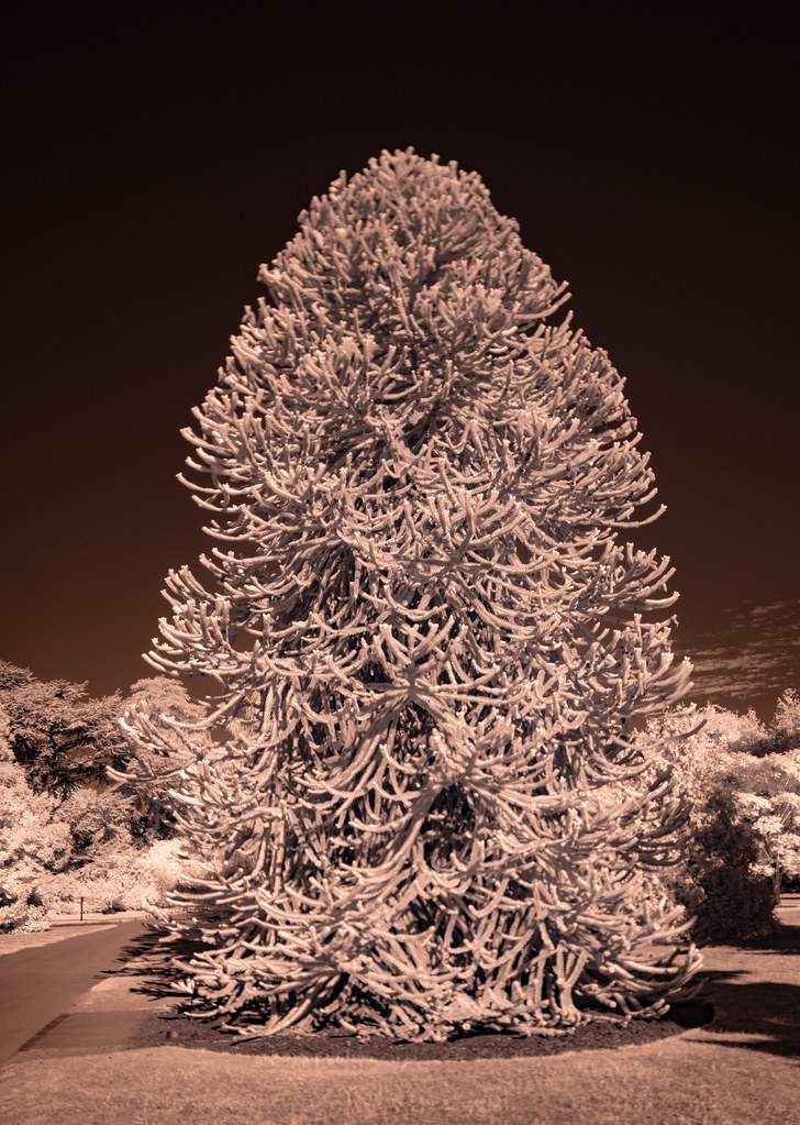Monkey Puzzle Tree IR_1