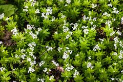 HolderSweet Woodruff - Galium odoratum