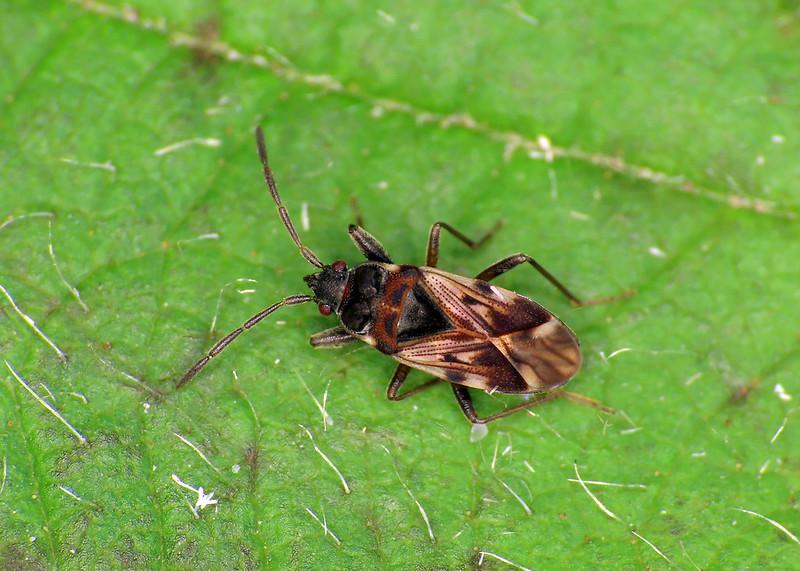 Scolopostethus decoratus
