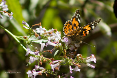painted Lady 3842