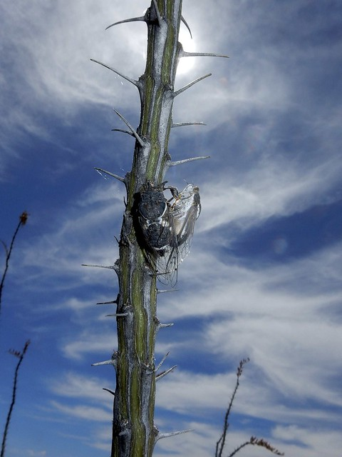 Cicadas mating on an Ocotillo branch; San Pedro River Valley, Arizona