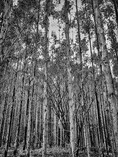 Eucalyptus Forest 2