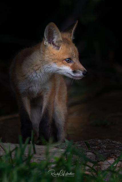 Red Fox - Vulpes vulpes | 2019 - 4