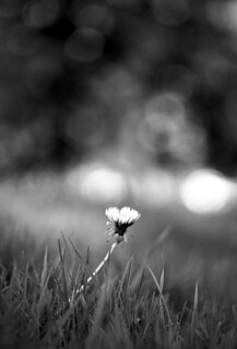 The beginning of dandelion season...