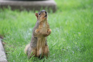 343/365/3995 (May 20, 2019) - Juvenile & Adult Fox Squirrels on Spring Days at the University of Michigan - May 20th & 21st, 2019