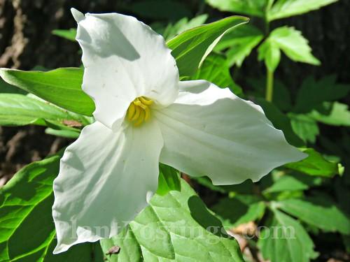 T. grandiflorum