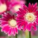 Pink Gerbera, 5.21.19