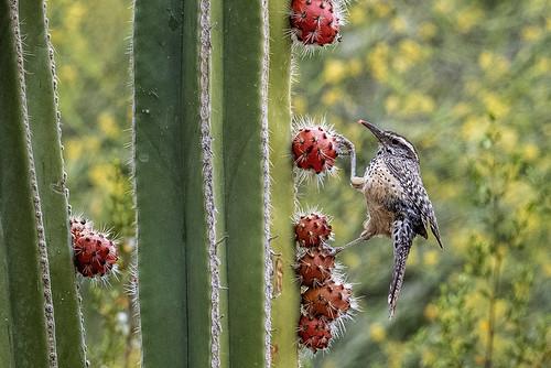 az.phoenix.cactus wren on cactus.6564