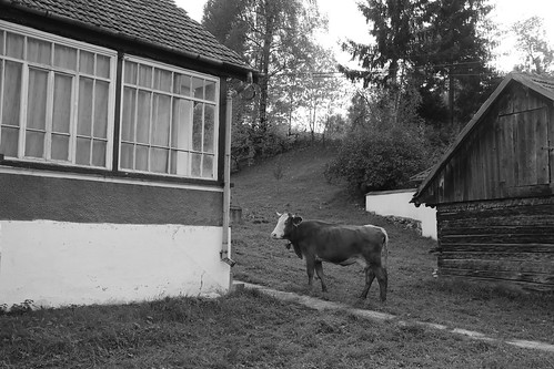 Cow by the House