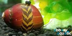 red racer nerite snail