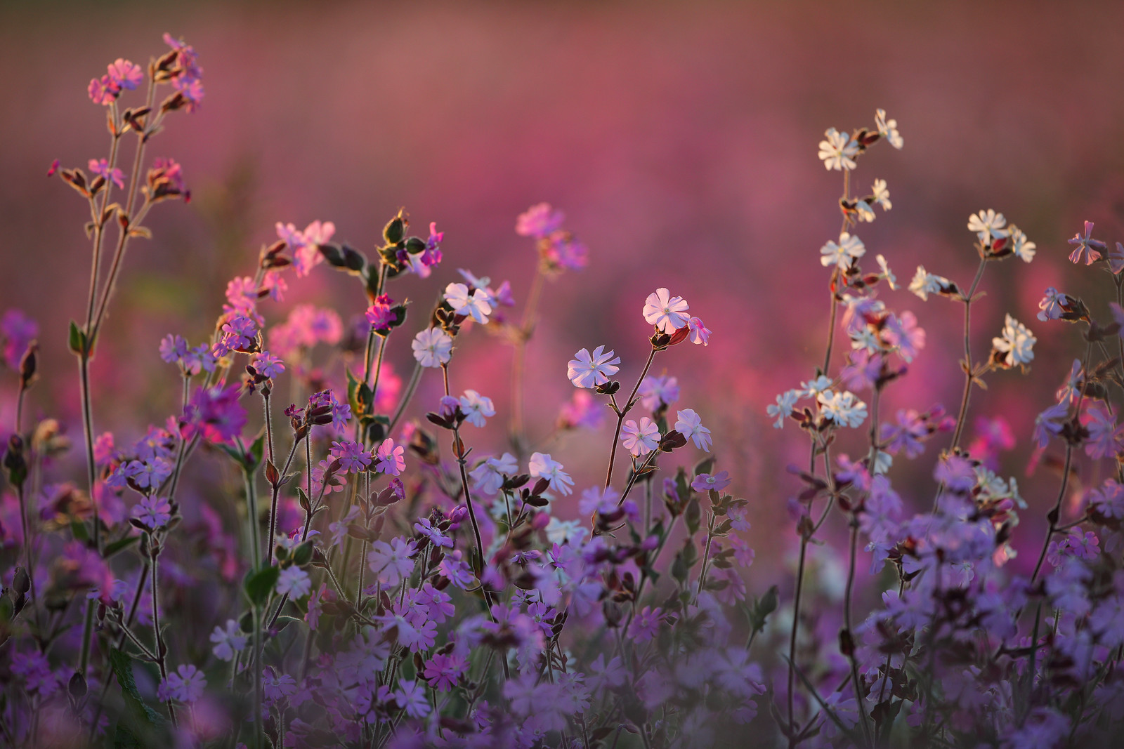 Red and White Campion Meadow