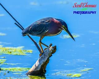 Green Heron at Lake Apopka | by Scott Thomas Photography