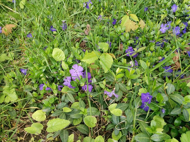Periwinkles in the grass #toronto #dovercourtvillage #bartlettavenue #flowers #periwinkle #purple #green #grass #latergram