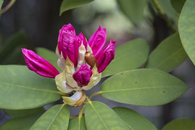 Flor de rododendro-3