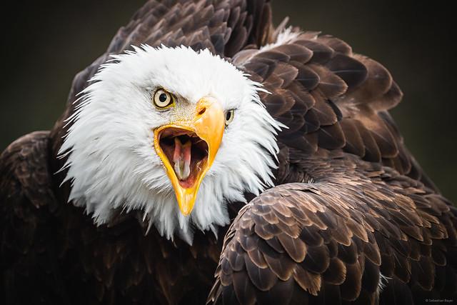 Bald Eagle - Cleebronn, Germany