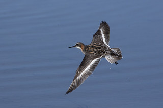 Red-necked Phalarope Just After Take-off