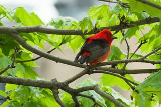 Scarlet Tananger Male ED 051219