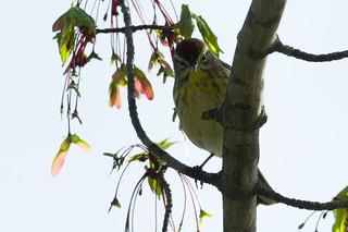 Palm Warbler Dundee Fox 050419-2