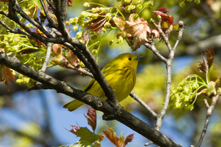 Yellow Warbler Dundee 050419-2