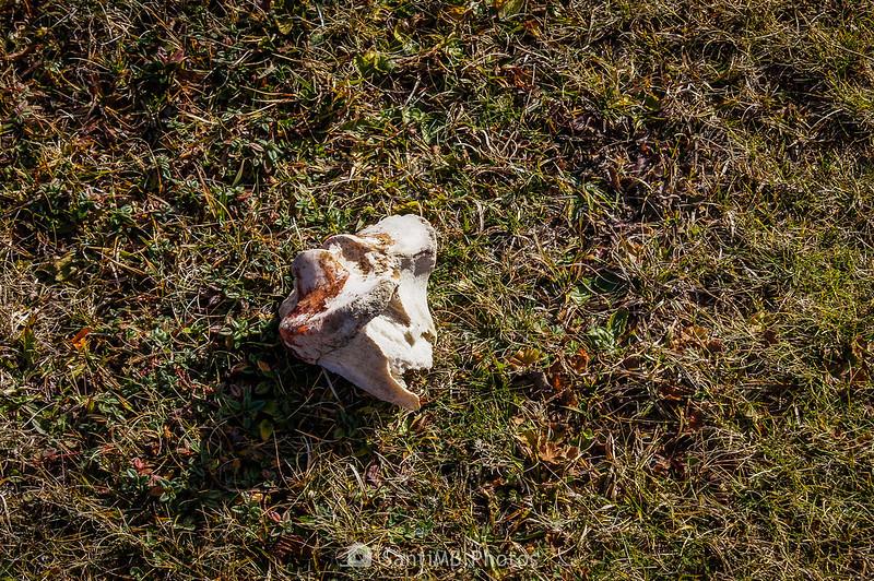 Fragmento de tibia de vaca en Eth Prilhon