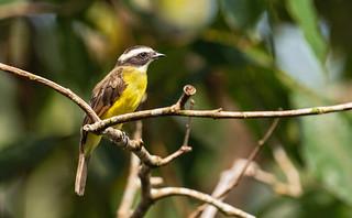 Conopias albovittatus - White-ringed Flycatcher - Bienteveo del Chocó - Suelda Aureolada 03