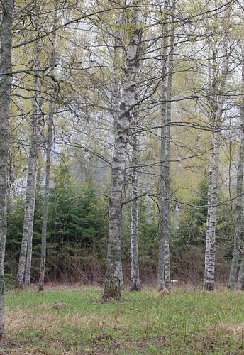 Forêt de printemps ...